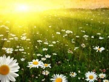 Güneş ve Papatya