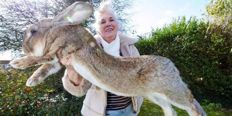 Bazı Tavşanlar Çok Büyüktür