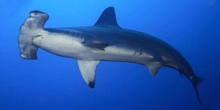 Mavi Denizlerden Dev Köpek Balıkları Ve Özellikleri
