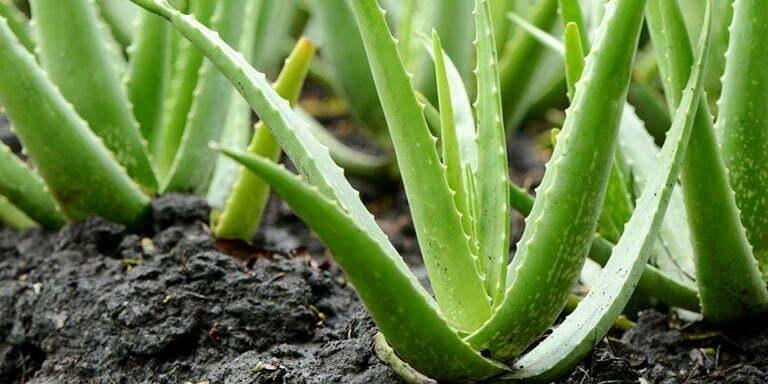 aloe vera bitkisinin vücuda sağladığı faydalar