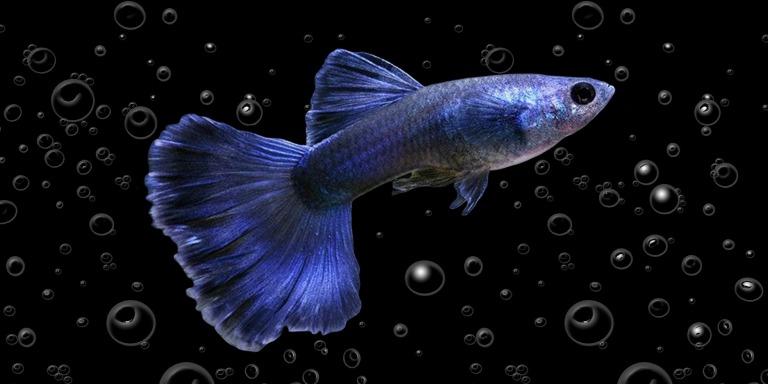 Bakımı Kolay Uzun Ömürlü Akvaryum Balıkları