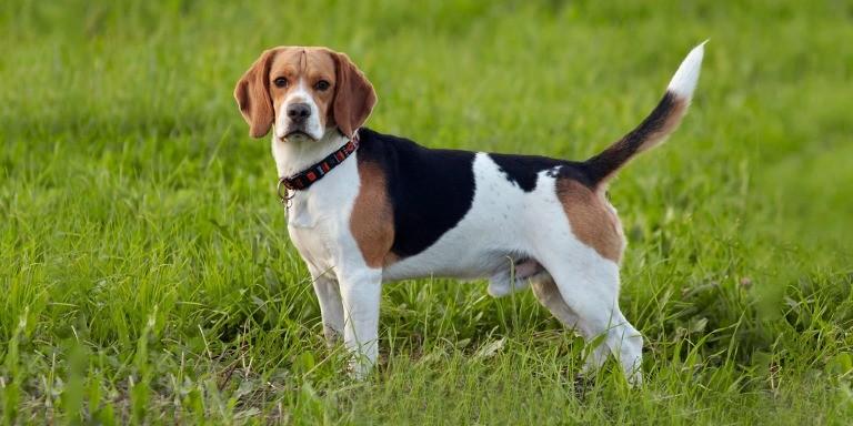 Farklı Köpek Cinslerinin Birbirinden İlginç Özellikleri