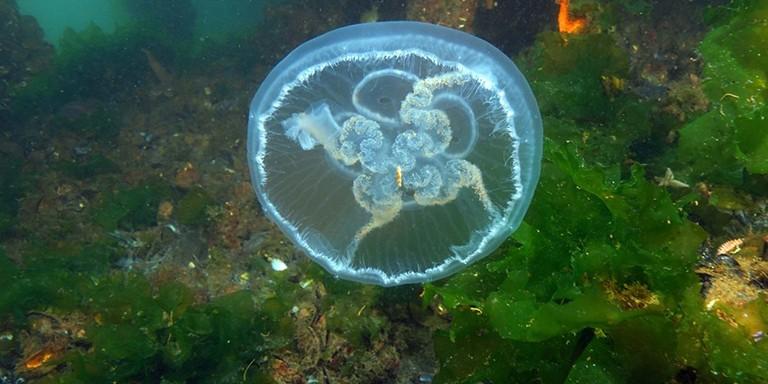 Su Altı Dünyasının İlginç Canlısı Denizanalarına Dair Bilmedikleriniz