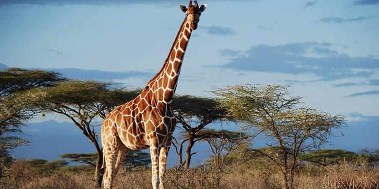 Uzun Boylarıyla Dikkat Çeken Zürafalara Dair Bilinmeyenler