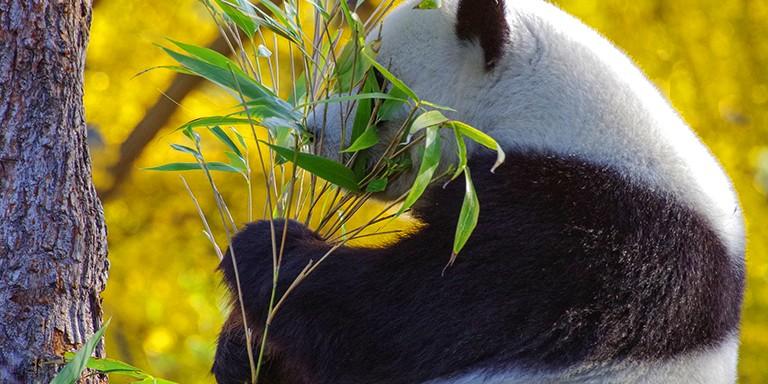 Dünyanın En Tembel Hayvanları Pandalara Dair İlginç Bilgiler