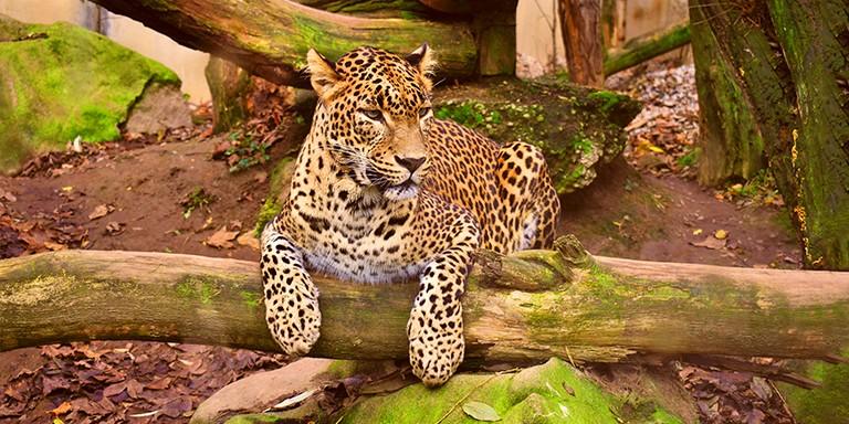 Asillikleriyle Dikkat Çeken Leoparlar Hakkında Bilgiler