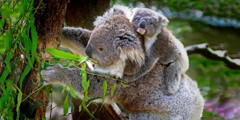 Nesli Tükenmekte Olan Sevimli Koalalara Dair Tüm Bilgiler