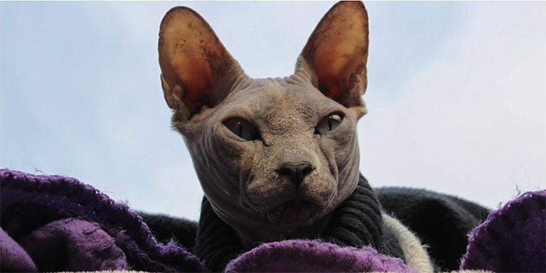 Tüysüz Sfenks Kedileri Hakkında Enteresan Gerçekler