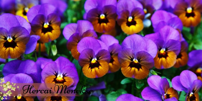 Polen Alerjisi Olanların Yetiştirebileceği Birbirinden Güzel Çiçekler